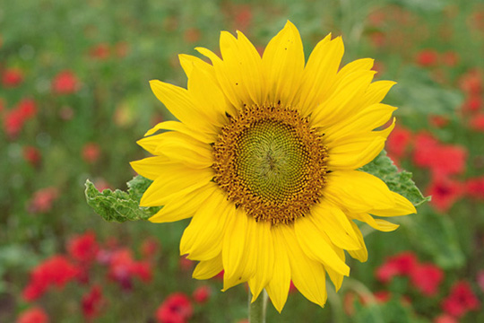 a Sunflower in full bloom