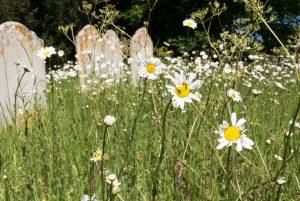 Oxeye daisies growing in the graveyard