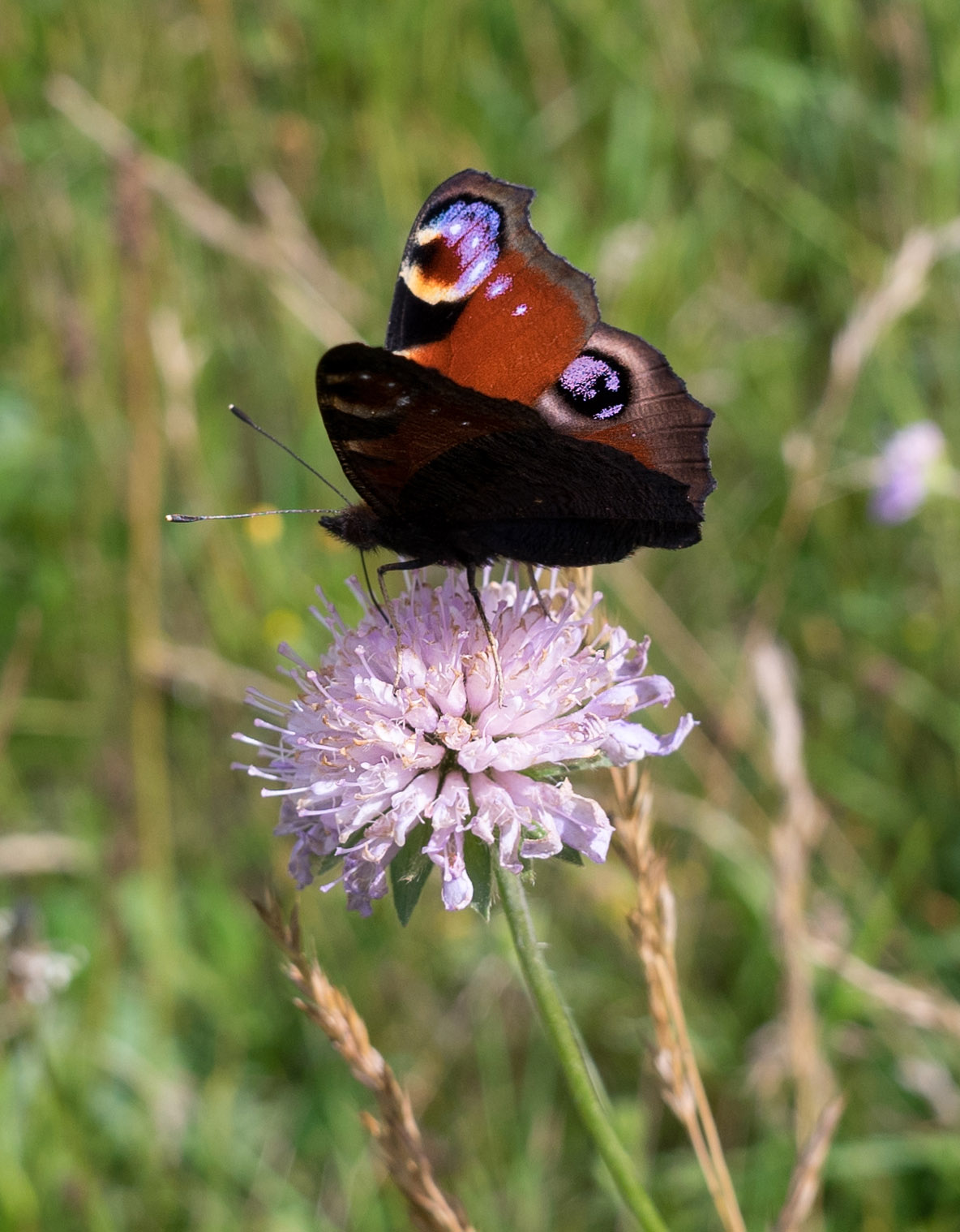 Peacock Butterfly on Scabious in Coddenham Churchyard