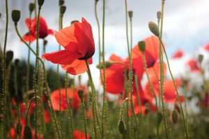 Low level photo of poppies in a field