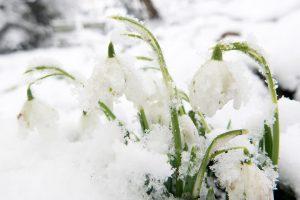 Snowdrops in the snow