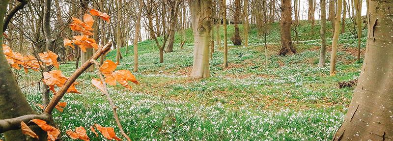 Snowdrops near Coddenham